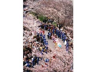 大河津分水桜